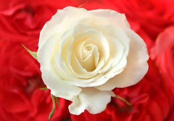 White rose over red