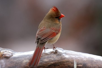 Cardinal in the cold