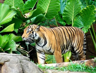 wild and dangerous tiger