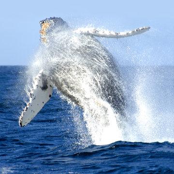Breaching Humback