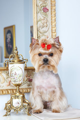 yorkshire terrier in beautiful interior