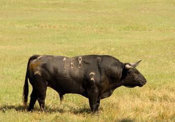 Tuinposter Stierenvechten A real black bull of bullfight in field
