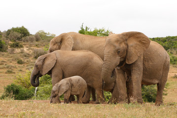 African Elephant family group of cows and calves