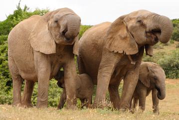 African Elephant family group (loxodonta africana)