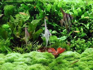 Scalare im Pflanzenaquarium
