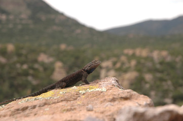 A dark colored spiny lizard from the high elevations