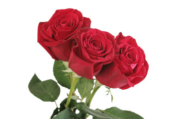 Three beautiful red roses lay on a white background