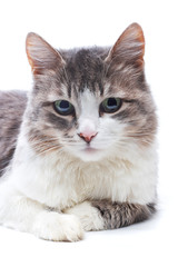 close-up portrait of cat on white
