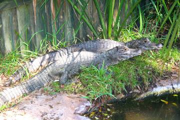 Sunbathing alligators