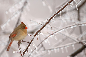 A common winter scene in the midwest is the female cardinal
