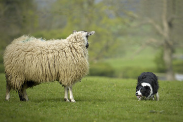 Border Collie Staring at Sheep