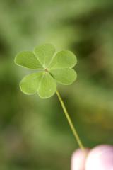 Holding a clover leaf