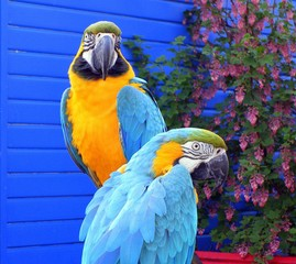 Exotic Birds - Macaws