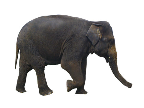 large walking indian elephant with textured skin