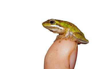 a tiny dwarf green tree frog is perched on the tip of a finger