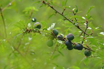 fruit de prunellier épineux,haute vallée de l'aude,pyrénées