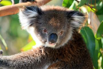 Koalabär Portarait
