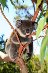 Koalabär beim klettern in einem Baum