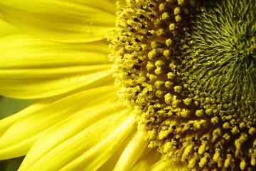 Sonnenblume -- Sunflower Closeup