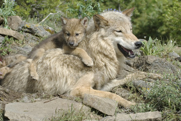 Gray wolf with her cub