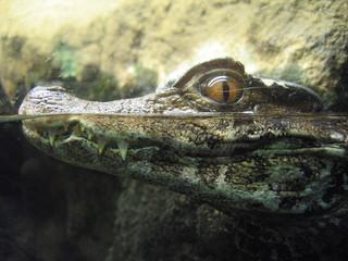 Baby's Alligator