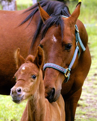 mare and colt nuzzling