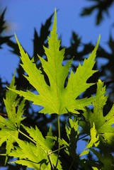 Grünes Blatt eines Ahornbaums vor blauem Himmel