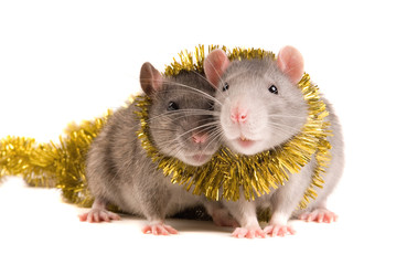Two rats with a celebratory tape on white background