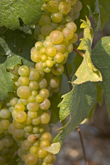 .Bunch of white grapes in a vine