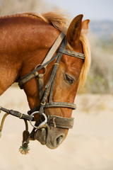 Profile horse head
