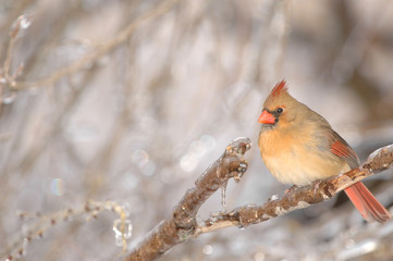 A warmly colored female cardinal sits on an icy perch