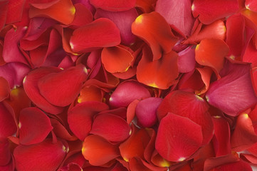 Love background with red petals of rose.