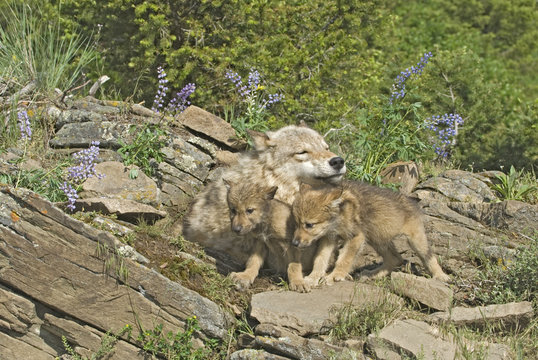 Gray wolf with her cubs at den. Photographed in Montana