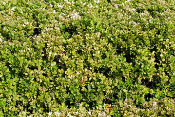 boxwoods texture and pattern