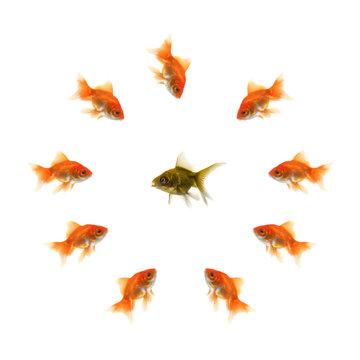 Goldfish in a circle and a ugly fish in the middle