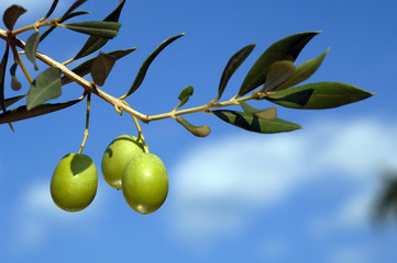 Three green olives on branch with leaves shot in nature