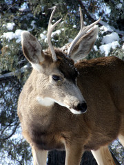 Young male mule deer after a mountain snowstorm