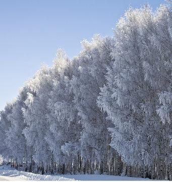 Birch in frost