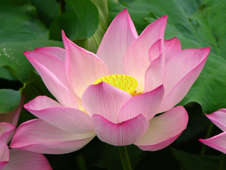 Pink Lotus, West Lake, Hangzhou, China
