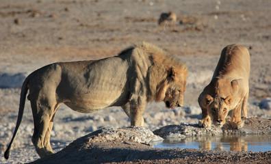 Ethosha lions