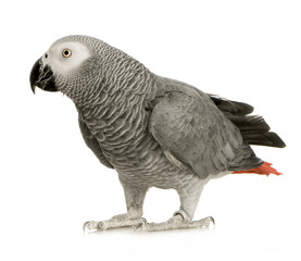 African Grey Parrot in front of a white background
