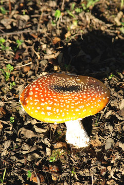 Wild mushroom in the field.
