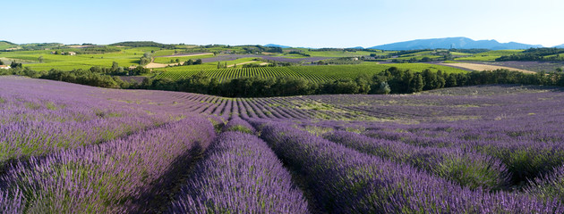 Photo Blinds Lavender panoramique - Champ de lavande en Provence