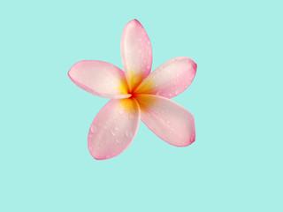 Frangipaniblüte im Regen