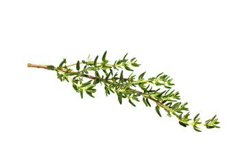 fresh thyme branch