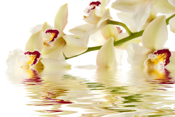 White orchid with water reflection