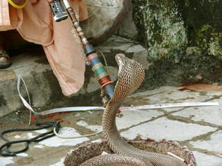 king cobra with trainer, rishikesh, india