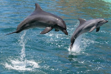 Fond de hotte en verre imprimé Dauphins Bottlenose dolphins leaping out of the water