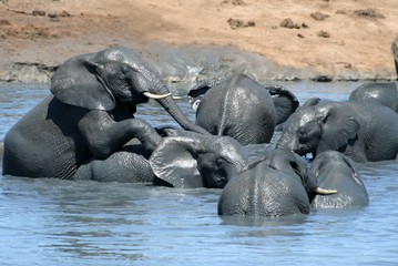 African elephants playing in a water hole