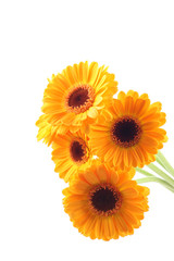 five yellow gerbera flowers isolated on white